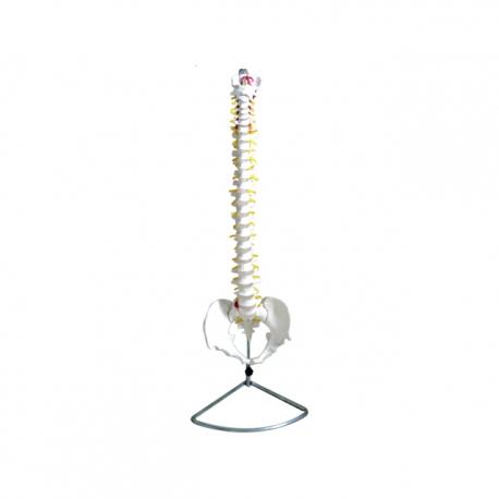 Model chrbtice s panvou, životná veľkosť