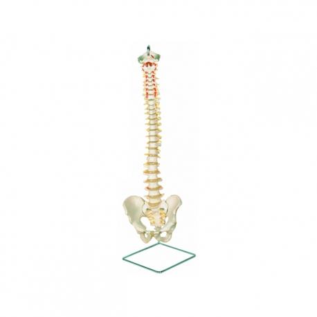 Klasický flexibilný model chrbtice