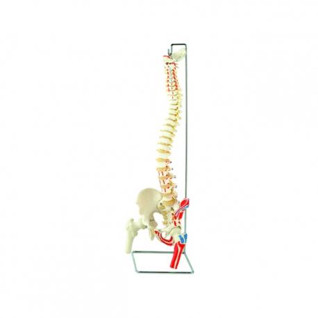 Flexibilný model chrbtice so stehennou kosťou