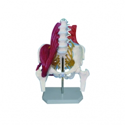 Bedrový model aj so svalstvom