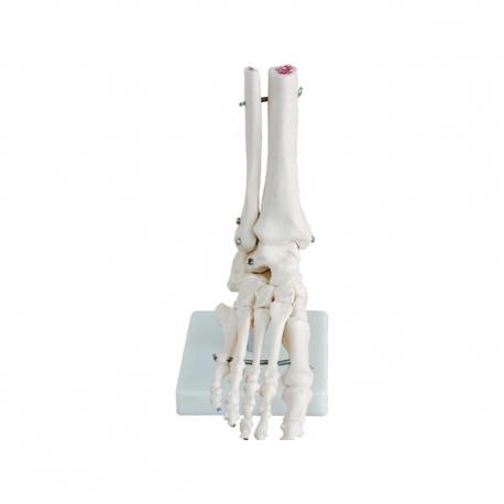 Model kostry chodidla