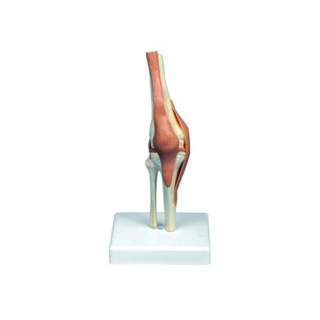 Model kolena