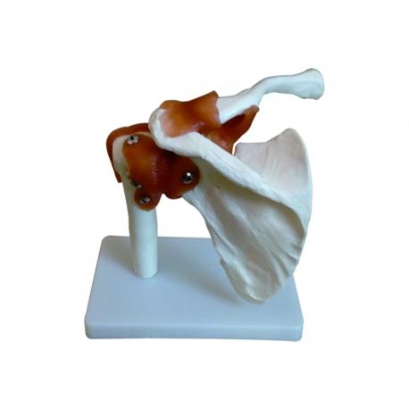 Model ramenného kĺbu s väzivom (Životná veľkosť)