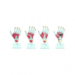 Anatomický model dlane