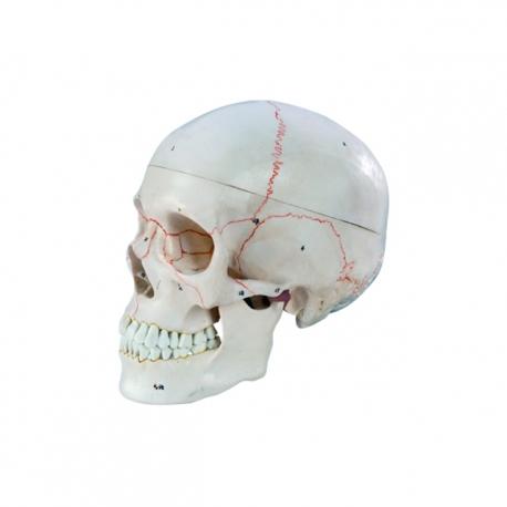 Model ľudskej s anatomickým vyznačením