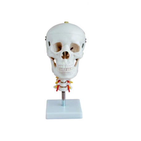 Model lebky s krčným stavcom