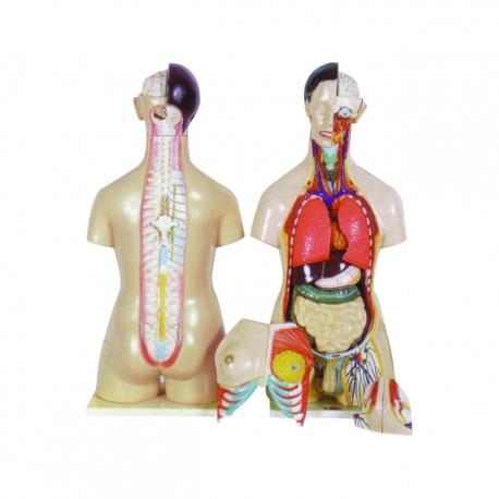 Model trupu, mužský a ženský