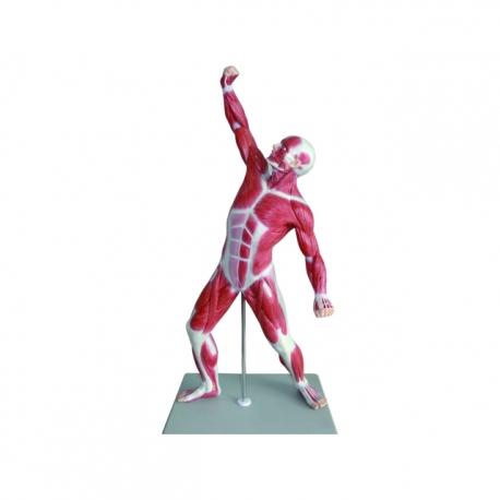 Model ľudského svalstva