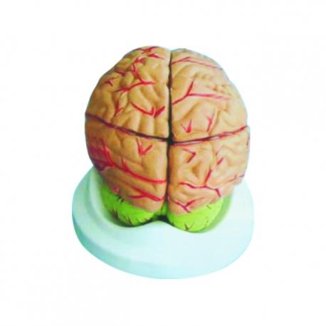Model mozgu