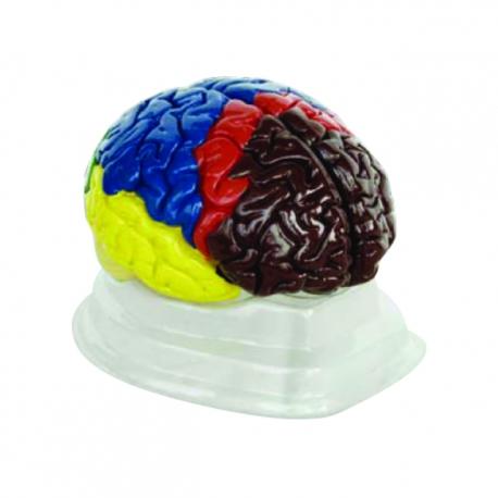 Ľudský mozog, farebne odlíšený