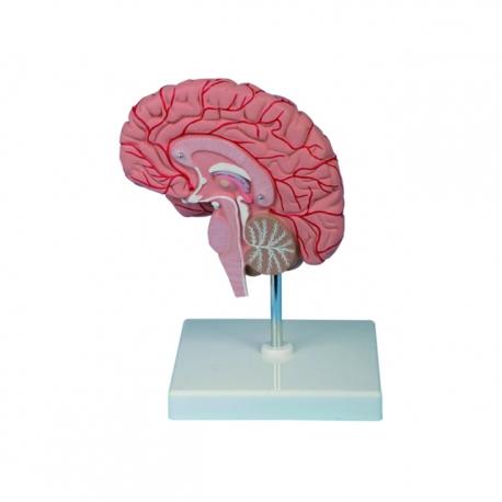 Pravá časť mozgu