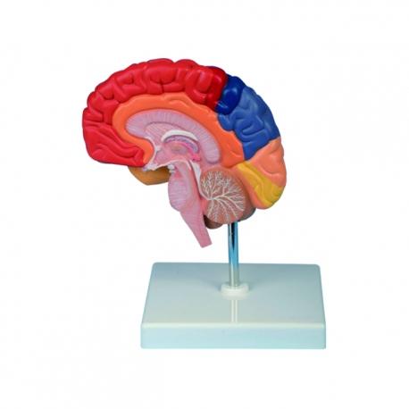 Pravá časť mozgu, funkčné časti mozgu odlíšené farebne