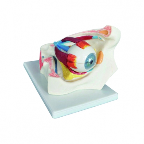 Model uloženia oka