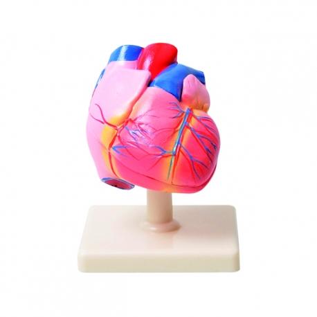 Srdce, Model