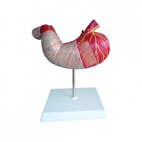 Ľudský žalúdok