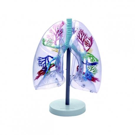 Priesvitný model pľúc