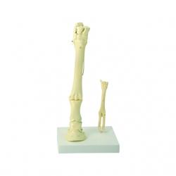 Model nohy Koňa a Ovce